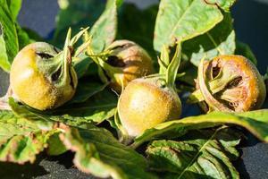 maçã mespilus germânica foto
