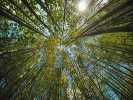 árvores de bambu e luz do sol foto