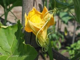 abobrinha também conhecida como flor de abobrinha foto