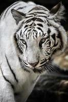 espécie de tigre branco tigre da Indonésia foto