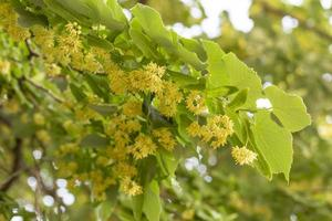 close-up de ramos de tília florescendo durante a primavera foto