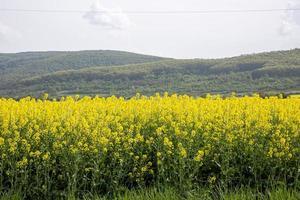 colza campo amarelo em flor na bulgária foto