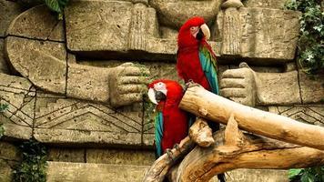 dois papagaios vermelhos arara em um galho. fundo da selva foto