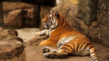tigre siberiano encontra-se em uma laje de pedra. o tigre está se aquecendo ao sol foto