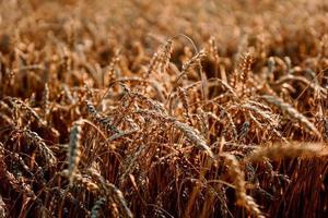 espigas de trigo. campo de trigo de verão. fundo natural natural foto