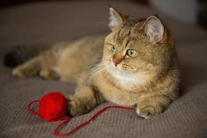 gato de raça pura deitado com uma bola vermelha de linha foto
