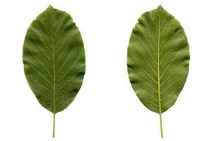 folha de nogueira isolada foto