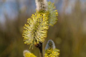 componentes de plantas causadores de alergia de bétula e salgueiro foto