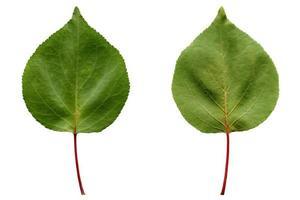 folha de damasco isolada foto
