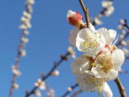 flores de árvores frutíferas foto