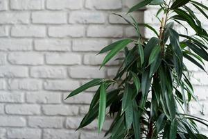 árvore de planta verde em um fundo de parede de tijolo branco foto