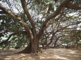 Figueira Moreton Bay foto