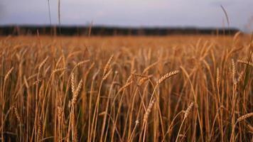 campo de aveia na frente de um céu azul. temporada de colheita foto