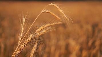 campo de trigo. espigas de trigo dourado close up foto