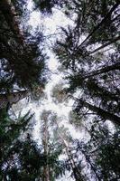 vista inferior de árvores na floresta de pinheiros no outono. floresta de pinheiros negros foto