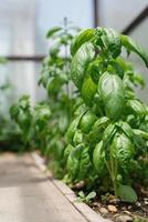 manjericão fresco no jardim ou estufa foto