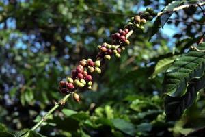 monte de grãos de café foto