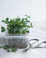 micro-verdes de rabanete germinado foto