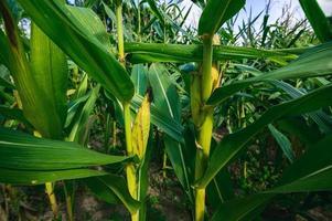 vista do campo de milho da agricultura foto
