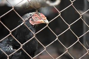 frango gamecock no galinheiro gaiola de aço, conceito animal foto