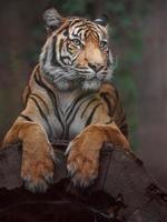 tigre sumatra em log foto