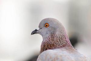 close-up de pombo, pombo-olho. foto
