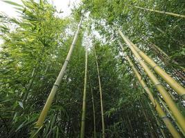 perspectiva da árvore de bambu foto