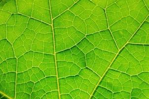 textura de folhas verdes e fibra de folha, plano de fundo por folha verde. foto