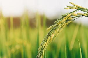arroz em casca e semente de arroz na fazenda, campo de arroz orgânico e agricultura. foto