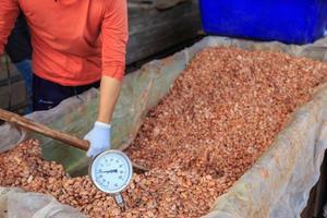 fermentando grãos de cacau para fazer chocolate foto