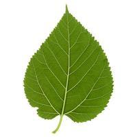 folha de amoreira branca isolada sobre o branco foto