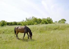 lindo garanhão de cavalo selvagem marrom no prado de flores de verão foto