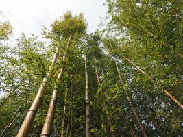 fundo de árvore de bambu foto