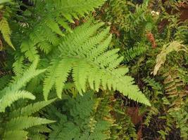 folhas de planta de samambaia foto