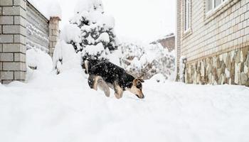 adorável cachorro sem raça definida brincando na neve no quintal foto