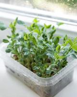 micro-verduras de ervilhas no peitoril da janela foto