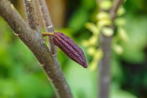 fruta vermelha do cacau na árvore do cacau foto