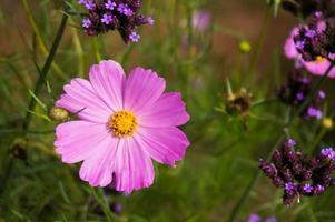 bela natureza rosa flor no fundo desfocado. foto