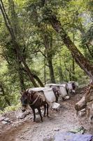 mula carregando sacos de areia pesados em Shangri Layunnan, China foto