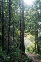 caminho entre árvores altas foto