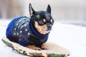 chihuahua fofo na neve com um suéter em um dia de inverno foto