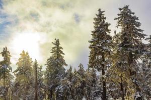 sol entre nevado em pinheiros gelados brocken harz alemanha foto