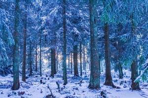 pôr do sol entre nevado em pinheiros gelados brocken harz alemanha foto