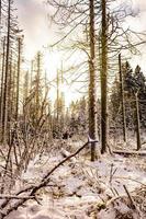 sol na floresta morrendo nevou na paisagem de brocken harz alemanha foto