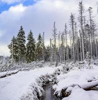 nevou em pinheiros paisagem de vapor brocken mountain harz alemanha foto