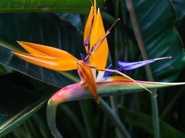 strelitzia, a flor do pássaro paraíso foto