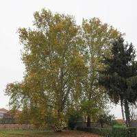 platanus aka sicômoro no outono foto