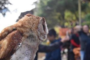 coruja em dieng, java central, indonésia foto