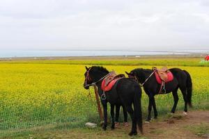 cavalos e flor de estupro na província de qinghai, china foto