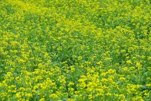 Imagem de fundo de flor de estupro amarela na província de Qinghai, China foto